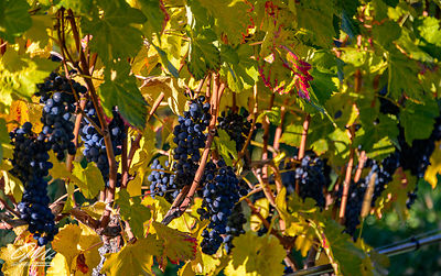 okanagan_fruits-133