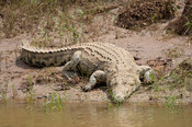 Nile Crocodile, Crocodylus niloticus, Kruger National Park, South Africa
