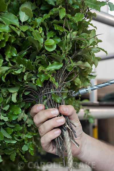 Head gardener David Bouch attaching pittosporum to the rope core of the Christmas garland in the Great Hall. Cotehele, St Dom...
