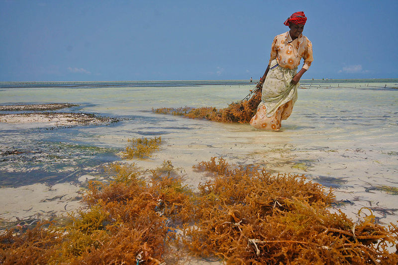 A woman harvests seaweed in the shallow waters of Matemwe, Zanbar. Seaweed farming was introduced to Zanzibar in 1988 and now...