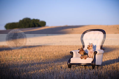 two sibling yorkies together on chair in farm field at sunset