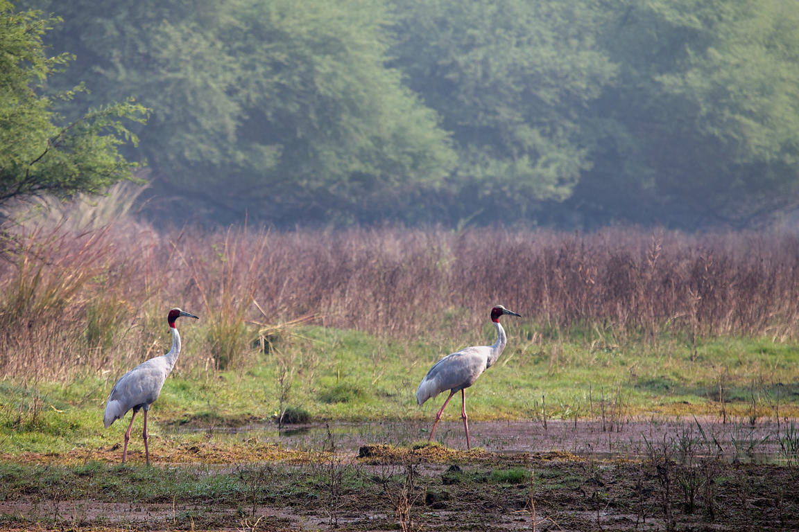 Sarus cranes (Grus antigone) in Keloadeo National Park, Bharatpur, Rajasthan, India