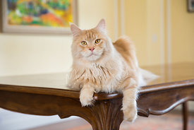 Red Silver Tabby Maine Coon Cat Lying on Table with one paw hanging down