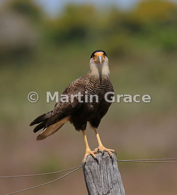 Southern Crested Caracara (Caracara plancus) looking at the camera as it stands on a fence post, Northern Pantanal, Mato Gros...