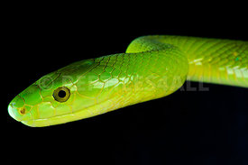 Dendroaspis angusticeps, Green Mamba, South Africa