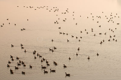 Flock of Greylag Goose (Anser anser) on calm water. The Netherlands, March.
