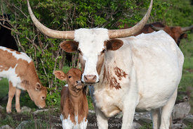 Longhorns of Grayson - Sticking Together