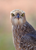 Juvenile Pale Chanting Goshawk head and shoulder portrait