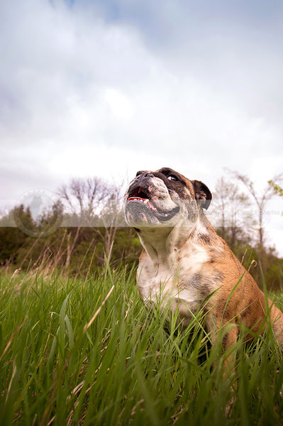 expressive bulldog with jowls looking sideways in grasses