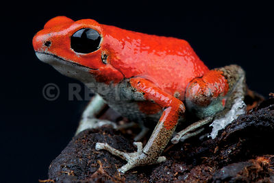 "Strawberry dart frog / Oophaga pumilio ""Quebrada Sal"""