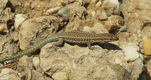 Andalusian Wall Lizard - Podarcis vaucheri