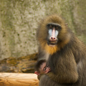 A mom's eyes don't lie - Mandrill mother and baby