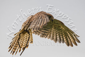 A British Kestrel Hovering