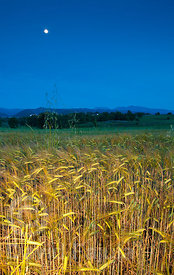 Barley field (lighted with a strobe) at dusk