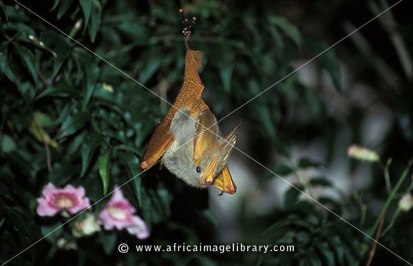 Yellow-winged bat (Lavia frons) often emerge before dark to hunt invertebrates, Queen Elizabeth National Park, Uganda