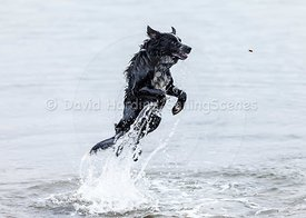 Leaping collie