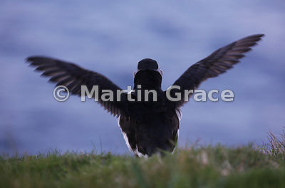 An Atlantic Puffin (Fratercula arctica) from the rear, Sumburgh Head (RSPB), Mainland South, Shetland