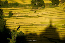 A crow overlooking terraced rice fields in Punakha, Bhutan.