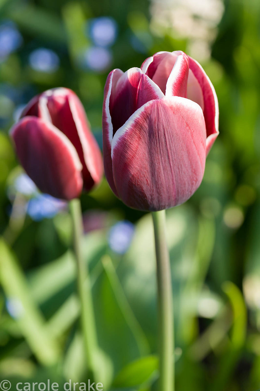 Tulip 'Fontainebleau'. Brilley Court Farm, Whitney-on-Wye, Herefordshire, UK