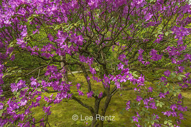 Purple Azalea Flowers in Spring in Seattle's Japanese Garden