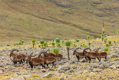 Walia ibex (Capra walie) herd, Simien Mountains National Park, Ethiopia