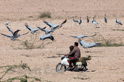 Men on a motorcycle ride past Demoiselle Cranes (Anthropoides virgo) in the rural village of Keechan, Rajasthan, India