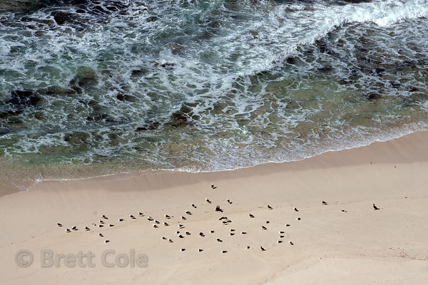 Cape cormorants (Phalacrocorax capensis) on the beach, Cape of Good Hope, South Africa