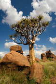Kokerboom or quivertree in the quivertree forest outside Keetmanshoop, Namibia