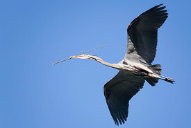 February - Great Blue Heron