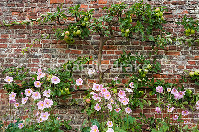 The garden walls are lined with trained fruit trees. Helmsley Walled Garden, Helmsley, York, North Yorkshire, UK