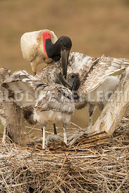 jabiru_stork_nest_close-31