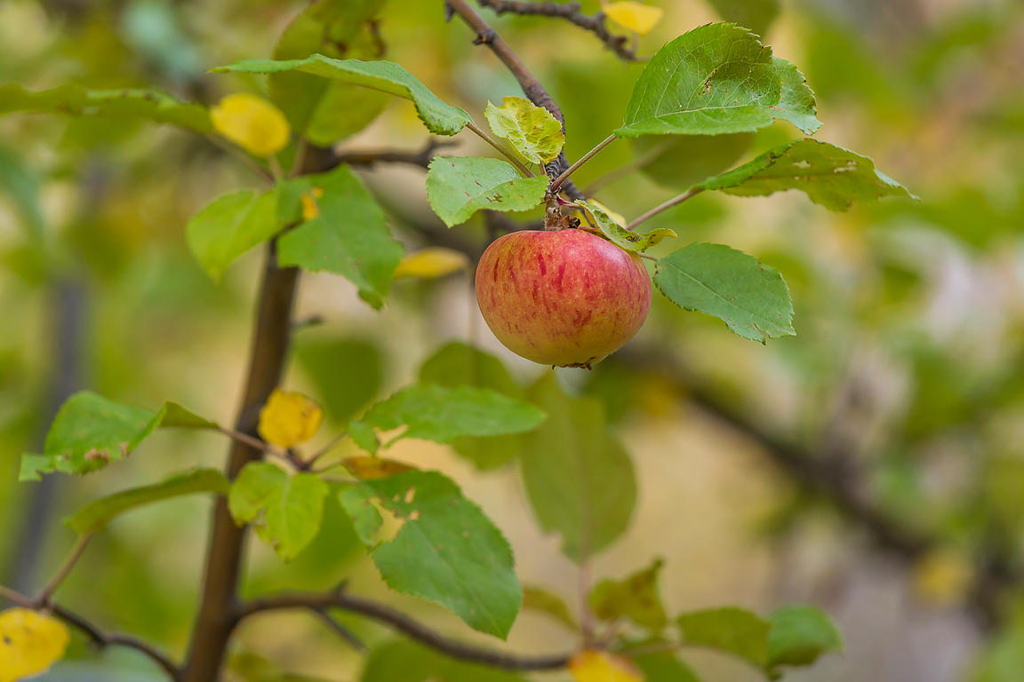 Apple on Abandoned Tree in Great Basin National Park