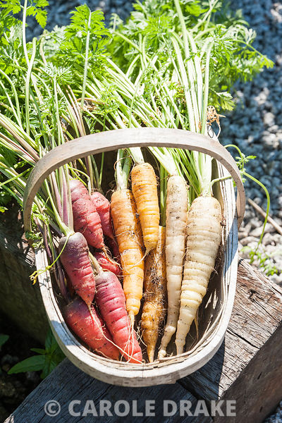 Heritage varieties of carrot including dark red Rouge sang violette and yellow Jaune Obtuse du Doubs. The 'Garten' Garden, Lo...
