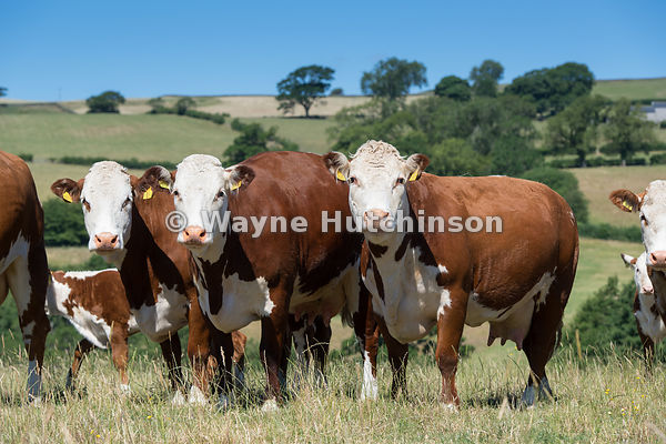Hereford cattle grazing in dry upland pastures, Cumbria, UK.