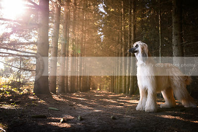blond and black Afghan hound dog standing in pine trees