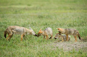 Golden jackal with pups, Canis aureus, Ngorongoro Crater, Tanzania