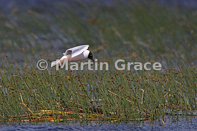 Flying adult Brown-Hooded Gull (Larus maculipennis) in breeding plumage, Chiloe Island, Chile