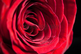 A close up of a single red rose.