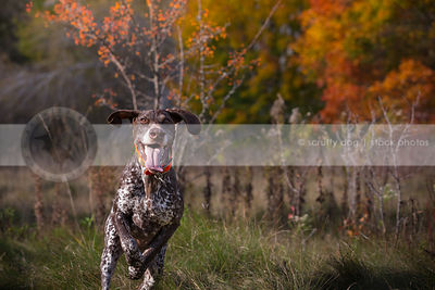 brown speckled dog running to camera in autumn meadow
