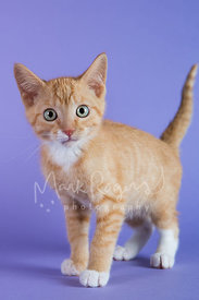 Orange Tabby Kitten with Green Eyes on Purple Background