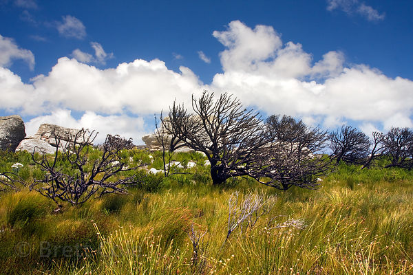 Fynbos, Smitswinkel flats, Cape Peninsula, South Africa