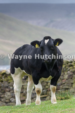 Pedigree British Blue heifer stood in upland pasture. Lancashire, UK.