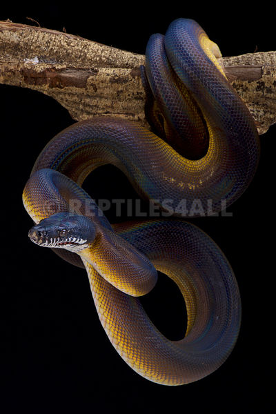 Northern white lipped python  (Leiopython albertisii)
