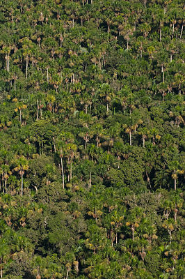 Palm forest in Cuyabeno Reserve seen from the air. Ecuador, June 2007.