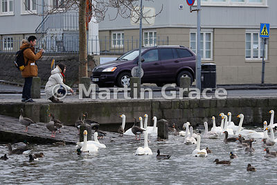 Tjornin City Pond, Reykjavik, Iceland in winter with wild Whooper Swans, Greylag Geese and various ducks