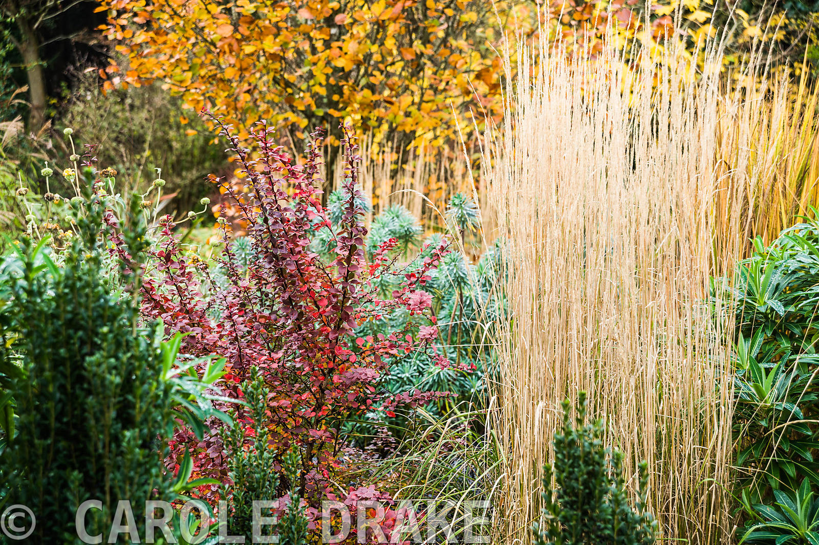 Mixed autumn border with upright grass Calamagrostis × acutiflora 'Overdam', euphorbia, berberis and upright Ilex crenata 'Fa...