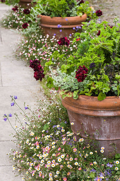 A line of terracotta pots in the Mediterranean style courtyard are planted with ivy leaved pelargoniums, helichrysum, heliotr...