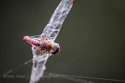 Dragonfly caught in cobweb