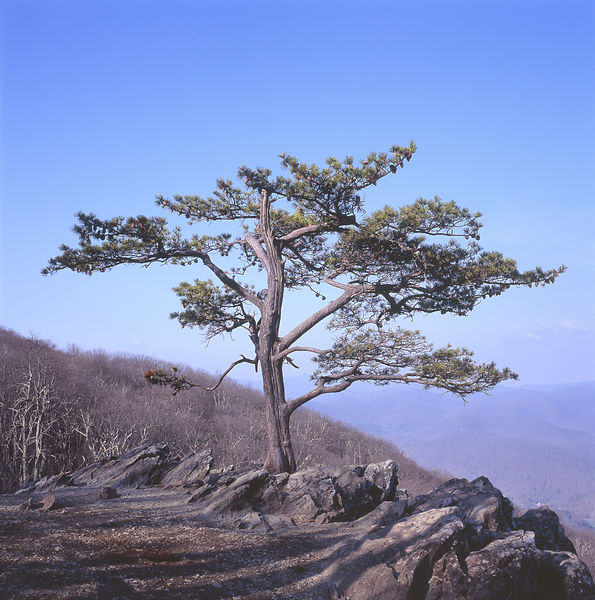 054-Blue_Ridge_D145241_Bonsai_on_Cliff_01_Preview