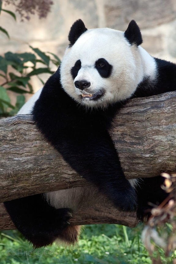Giant panda (Ailuropoda melanoleuca), National Zoo, Washington, D.C.